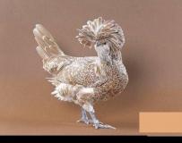 〉》 大開眼界 !!   这么漂亮,为什么会是鸡??? 《〈