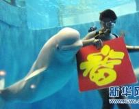 哈爾濱極地館白鯨送福。。。