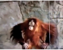 紅毛猩猩模仿人打啵 對空親親也甘願