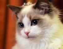 网络火红花美男猫,Muffie王子被誉为最美的猫