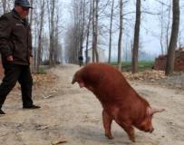 """兩腿小豬會""""走路""""。。。"""