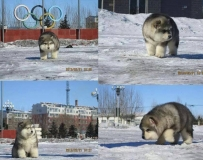超可愛圓滾滾的阿拉斯加雪橇犬