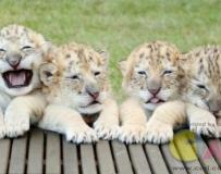 全球首批白狮虎四胞胎诞生 个性不同会卖萌
