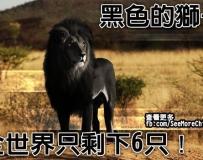 第一次看過黑色獅子的默默按讚.