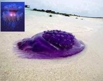 紫色的水母