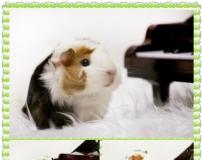 小小天竺鼠彈鋼琴