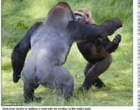 三年不見了,你好嗎?大猩猩兄弟再重逢 激動互擁動人心
