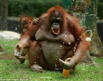 紅毛猩猩智商僅次於人類! 輕鬆開飲痛快喝