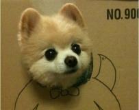 明星狗狗——小俊介。我是小超银哦