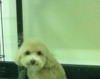 超级可爱的toy poodle出售,PM我如你有兴趣要。注:狗狗在槟城的