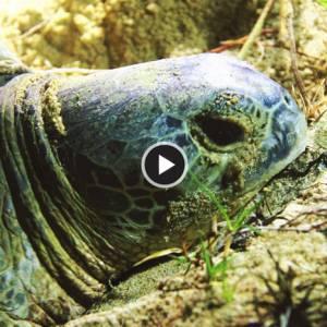 《吉兰丹海龟》有能力建熊猫馆,为何却没有能力好好保护海龟?