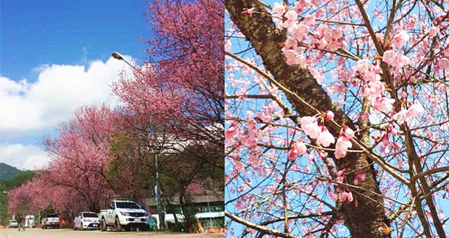 【带着爸妈去旅行】选对月份去泰国,也有可以观赏到漂亮的樱花!