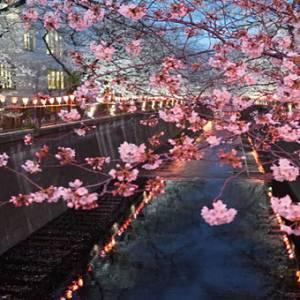 日本樱花季开跑啦! 为你盘点东京6大赏樱圣地