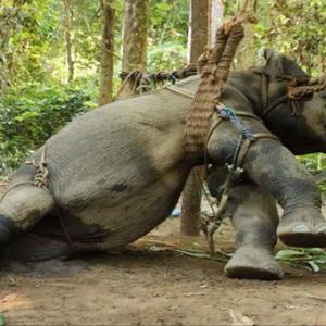 它们都要经历这些残忍的训练!你还忍心骑大象吗?