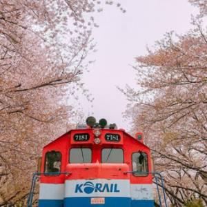 醉在韩国的一片樱花海里