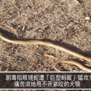 剧毒拟眼镜蛇遭「巨型蚂蚁」猛攻! 痛苦滚地甩不开紧咬的大颚
