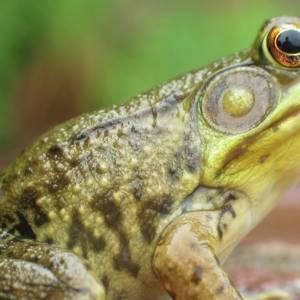 从高中生物课的青蛙认识解剖学