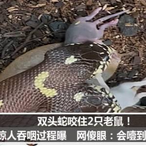 双头蛇咬住2只老鼠!惊人吞咽过程曝 网傻眼:会噎到吧