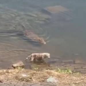 瘦弱浪犬河边喝水 遭巨鳄「血口猛咬」爆惨叫!瞬间拖进水底吞食