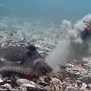 为了拒绝性骚扰,雌章鱼还会丢沙子贝壳反击? 也是很凶悍了!