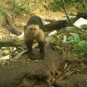巴拿马孤岛上一群猴子居然进入石器时代了?!科学家们被发现震惊了