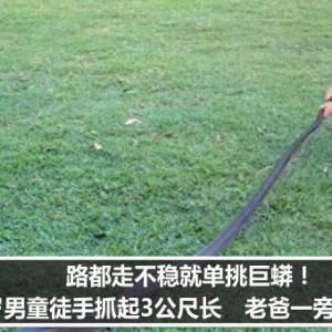 路都走不稳就单挑巨蟒!2岁男童徒手抓起3公尺长 老爸一旁加油