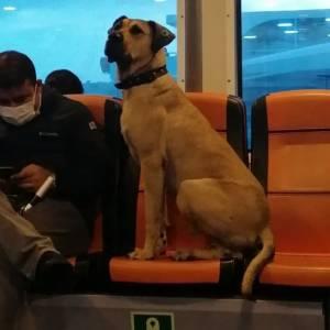 自由旅行的土耳其流浪狗,坐船坐车坐地铁跨越大洲,想去哪就去哪,这都可以?!
