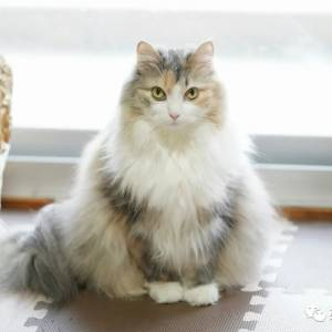 妹子养了只挪威森林猫,天一冷就膨胀,这气质是仙女没错了