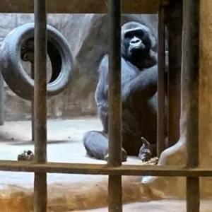 被囚禁水泥牢笼38年,一只眼睛含泪的猩猩,成了无数人心中的痛
