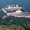 Kesiannya, Salmon 'Direbus Hidup-hidup' Kerana Gelombang Haba
