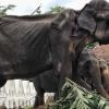 Gajah Bernama 'Tikiri' Kurus Kering Kerana Dipaksa Bekerja Setiap Malam