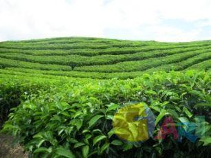 ladang teh
