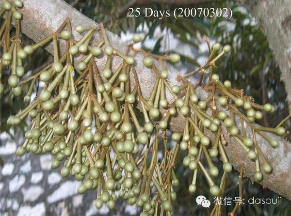 durian 25d.jpg