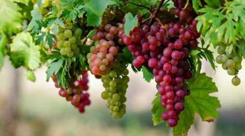 buah-anggur-liputan6-com_.jpg