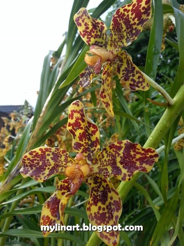 orkid harimau2.jpg