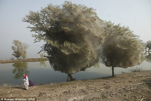 Spiderweb-cocooned-trees-in-Pakistan.jpg