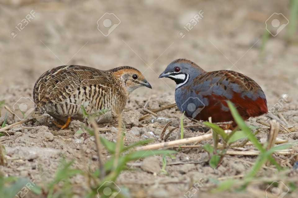 83773494-King-quail-Blue-breasted-quail-Coturnix-chinensis-Male-and-Female-Cute-.jpg