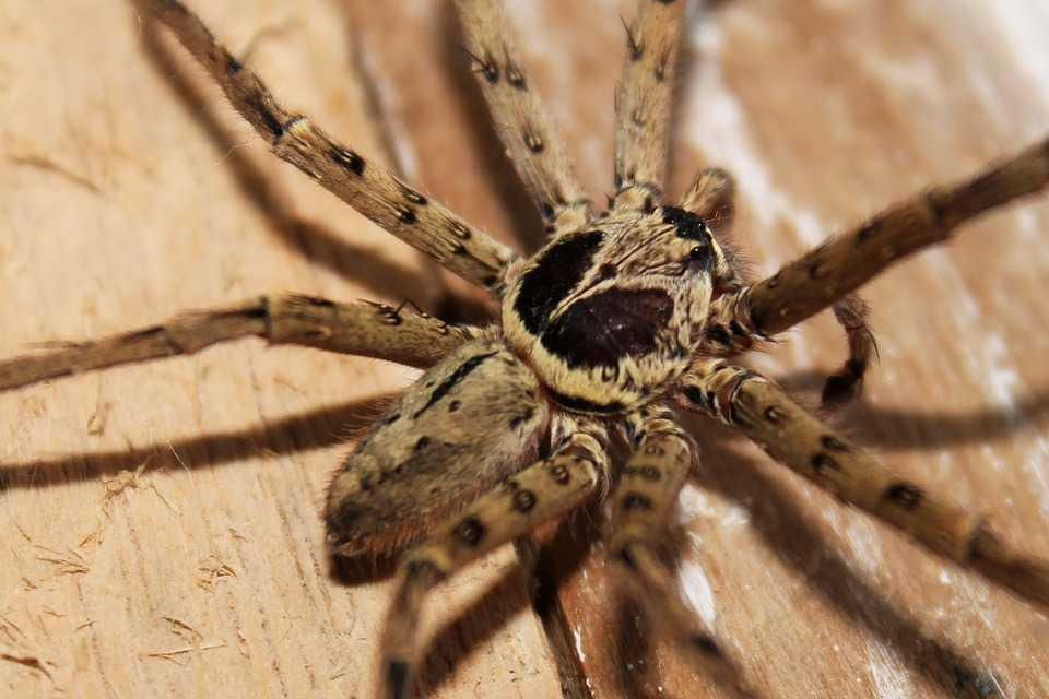 Scary-Spider-Insect-Arachnophobia-Arachnid-198339.jpg