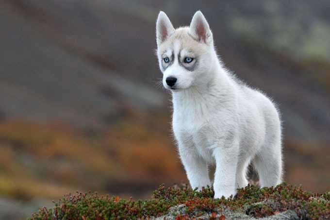 Siberian-Husky_1.jpg