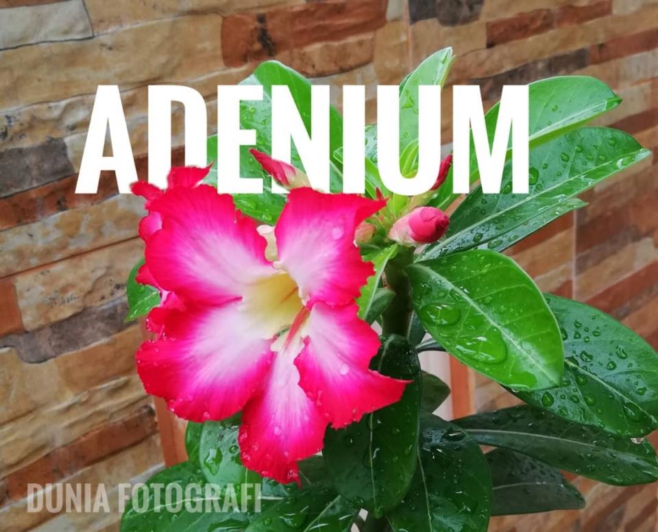 adenium 1.jpg