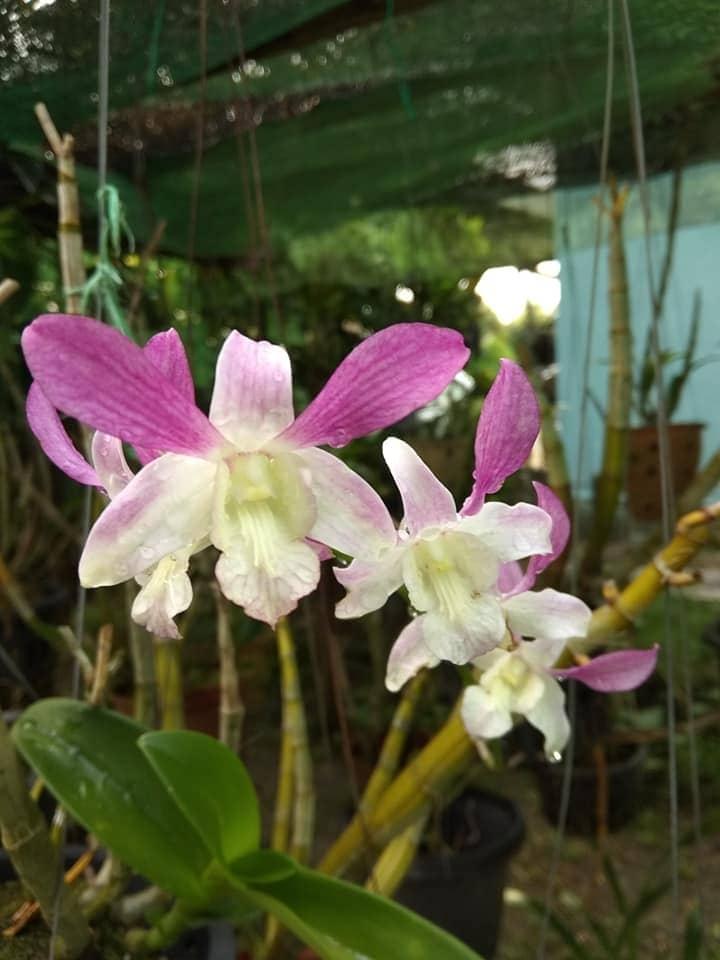 orkid 1.jpg