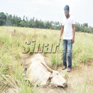 Jangan Aniaya Lembu Saya