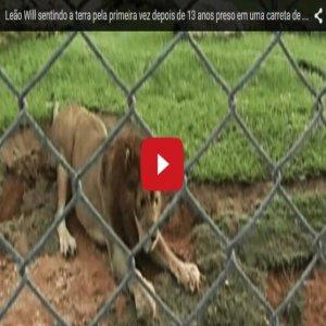 Singa Tua Dahagakan Kebebasan Setelah 13 tahun Dikurung !