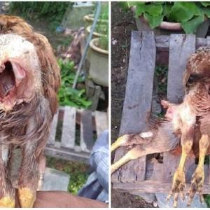 Ayam Dibela Mati, Organ Dalaman Dimakan Makhluk Tak Diketahui