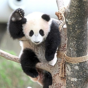 Kos Pemeliharaan Terlalu Tinggi, Panda Gergasi Dipulangkan Semula Kepada China