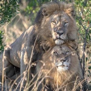 Aksi Seks Antara Dua Singa Jantan Berjaya Dirakam Di Kenya