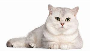 Pencinta Kucing! Kenali 8 Jenis Kucing Paling Mahal Di Dunia