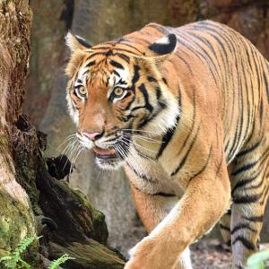 Kurang 200 Dari 3,000 Ekor, Selamatkan Harimau Malaya!