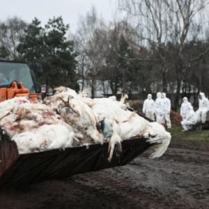 Russia kesan kes pertama selesema burung H5N8 pada manusia
