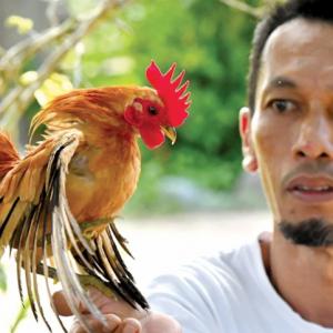 Juara ayam Serama cecah RM40K